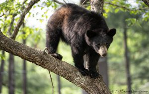 Black Bear in Dogwood Tree