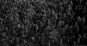 Balsam Fir Trees in Snow - Aerial Photo