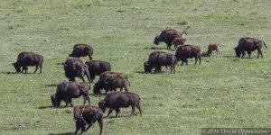 Buffalo Herd in Colorado Rocky Mountains
