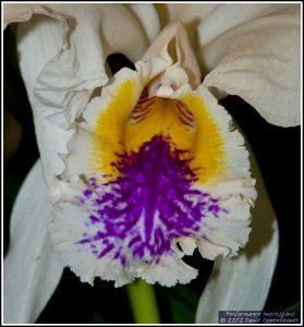 Cattleya mossiae Featherhill Orchid Flower
