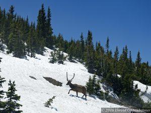 Elk in Snow in Rocky Mountain National Park in Colorado