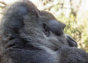 Western Lowland Gorilla at The Bronx Zoo