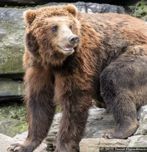 Grizzly Bear at The Bronx Zoo