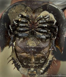 Horseshoe Crab Belly