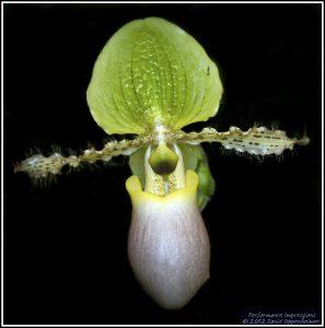 Paphiopedilum Primulinum Purpurascens Orchid Flower