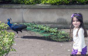 Peacock at The Bronx Zoo
