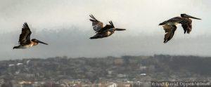 Pelicans Flying over San Francisco Bay
