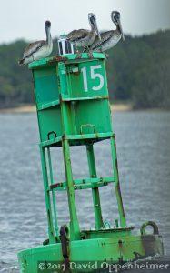 Brown Pelicans in Winyah Bay South Carolina