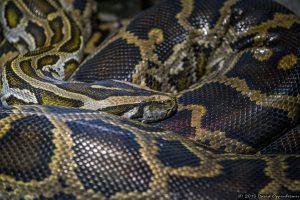 Burmese Python at The Bronx Zoo