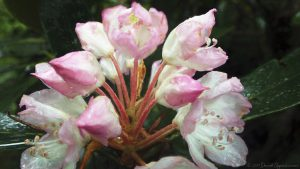 Rhododendron Flower in Joyce Kilmer Memorial Forest