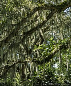 Southern Live Oaks with Spanish Moss in Lowcountry of South Carolina