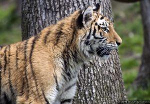 Siberian tiger at Tiger Mountain at The Bronx Zoo