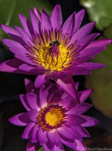 Water Lily Blossoms in Murrells Inlet, South Carolina
